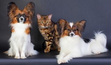 Бенгальский кот и папийоны